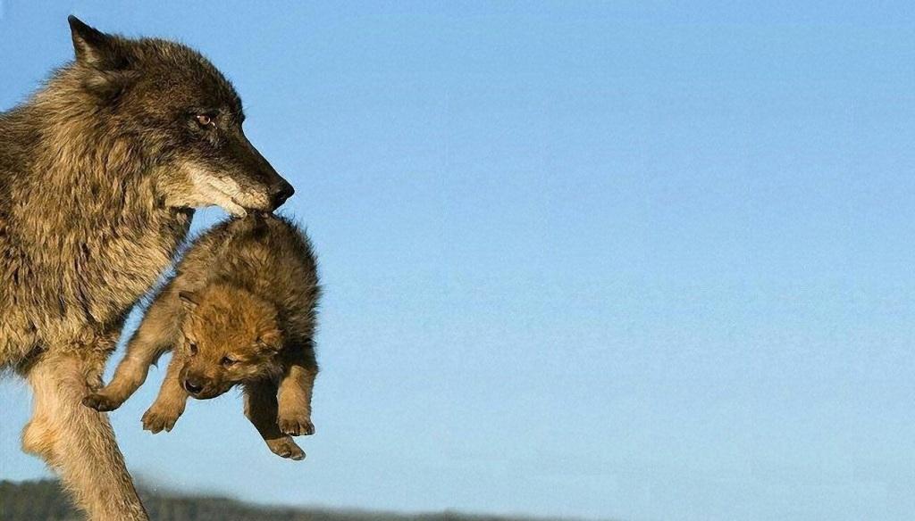 Wolf and wolf in bocca al lupo crepi o grazie - Valutazione immobili commerciali ...